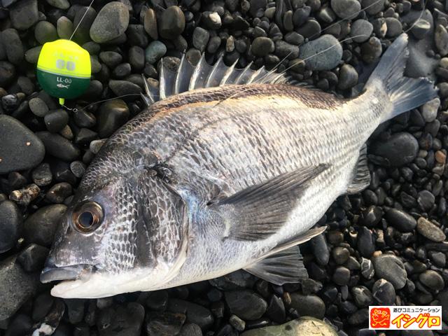 渚釣りの釣果クロダイ