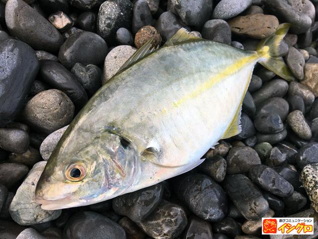 渚釣りの釣果シマアジ