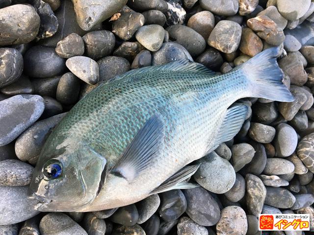 渚釣りの釣果メジナ