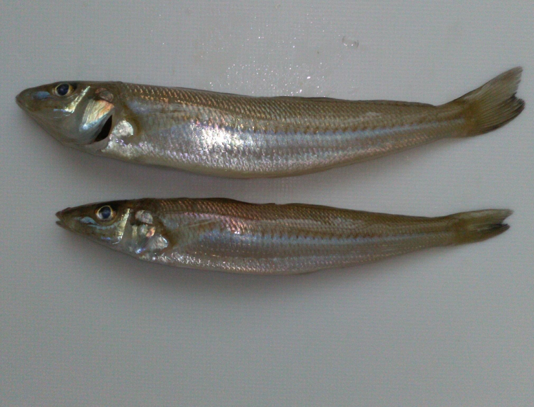 短時間でしたがキス釣れました。2匹だけでしたが他にもキスらしいアタリいくつかありました。またサビキでは豆アジも釣れていましたよ。