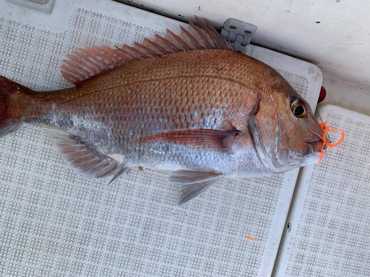 沼津湾内、タイラバで良型マダイの釣果が続いております!!