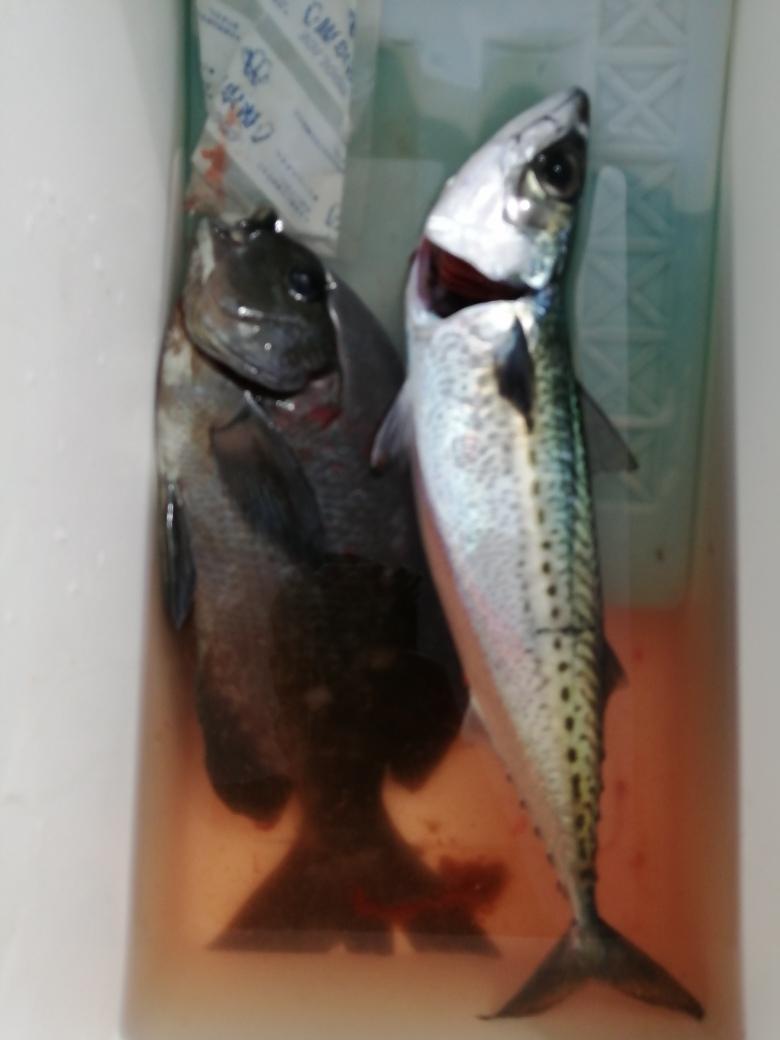 カゴ釣りでメジナとサバが釣れてました。