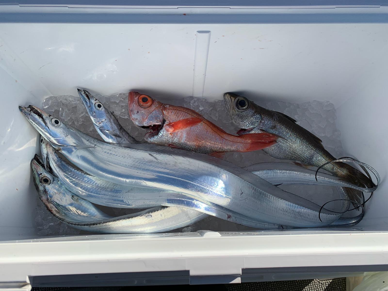 ノドグロ・クロムツ・タチウオが釣れました。