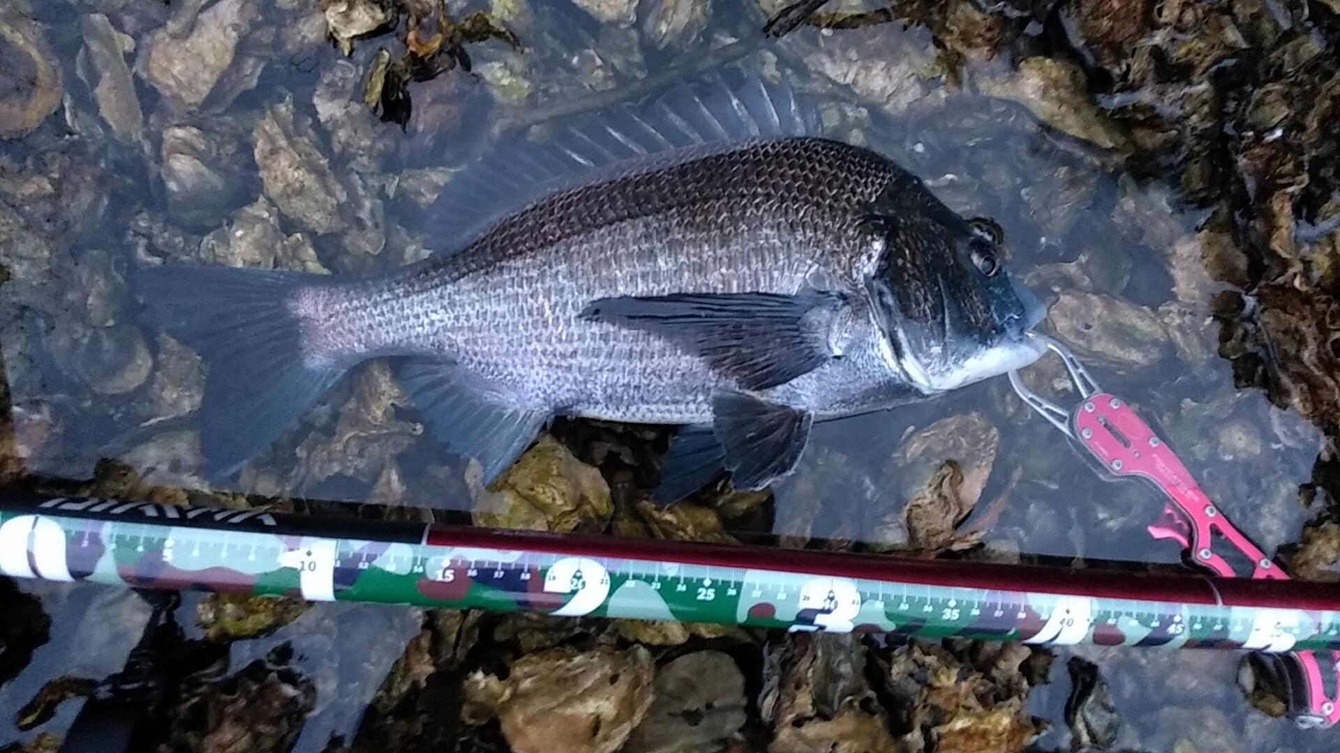 夕まずめ「18時30分に釣れた黒鯛40.5センチ!