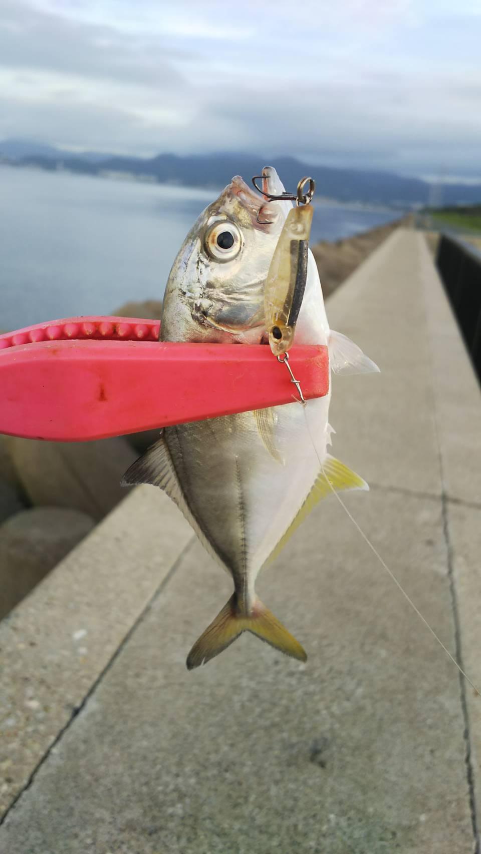 型が小さいのですべてリリースしました!御津臨海公園色々釣れますね♪