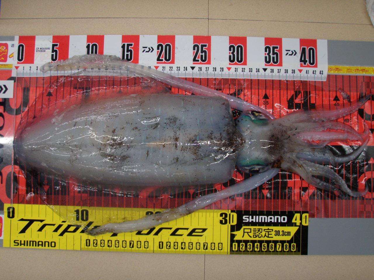 当店常連五十嵐様の釣果。胴長31㎝、1.4キロのアオリイカです!