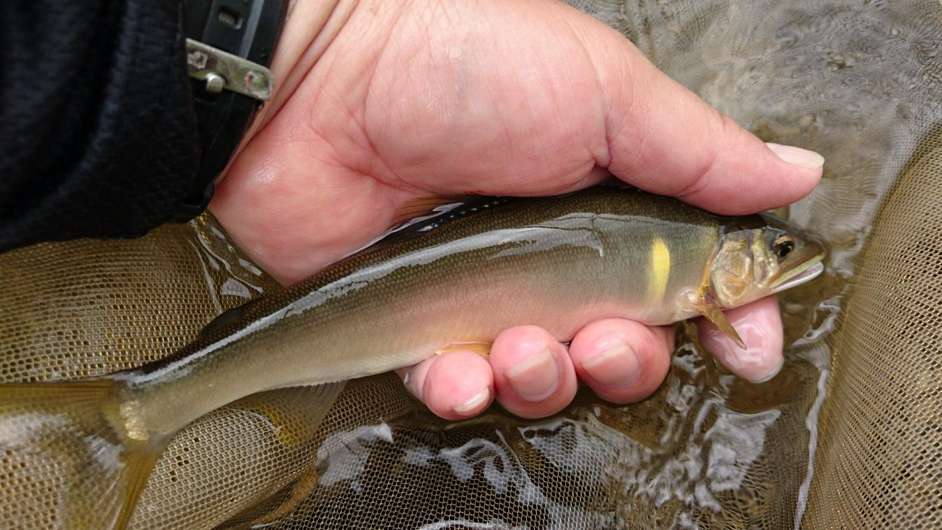 ぽってりした20cmが釣れ始めています。漁協確認の最大サイズは22センチ!!