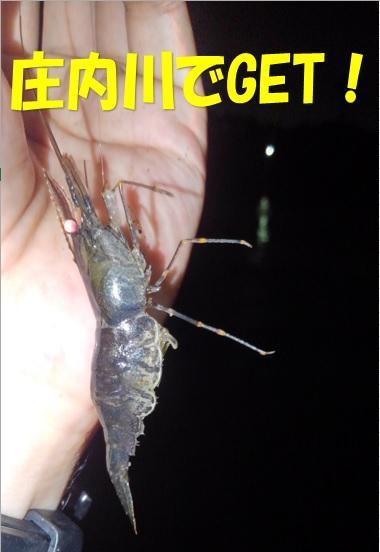 庄内川でも釣れるです!