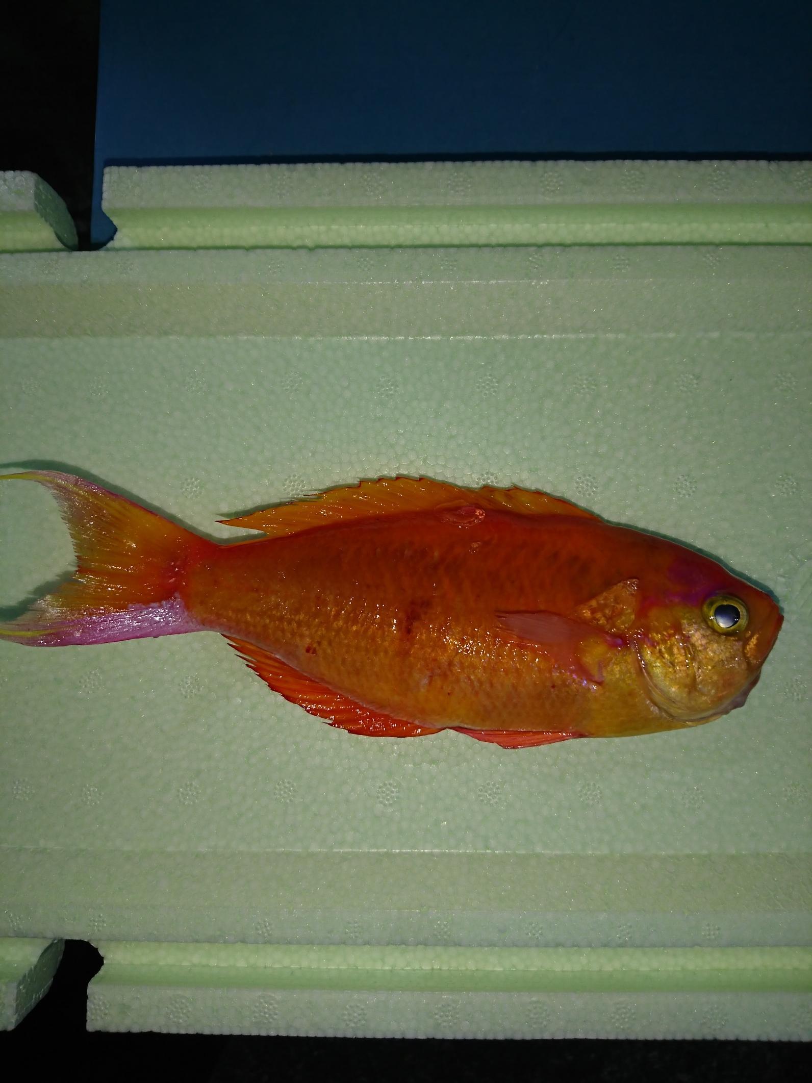 派手なカラーの魚ですがフライや煮つけなどでいただけますよ。