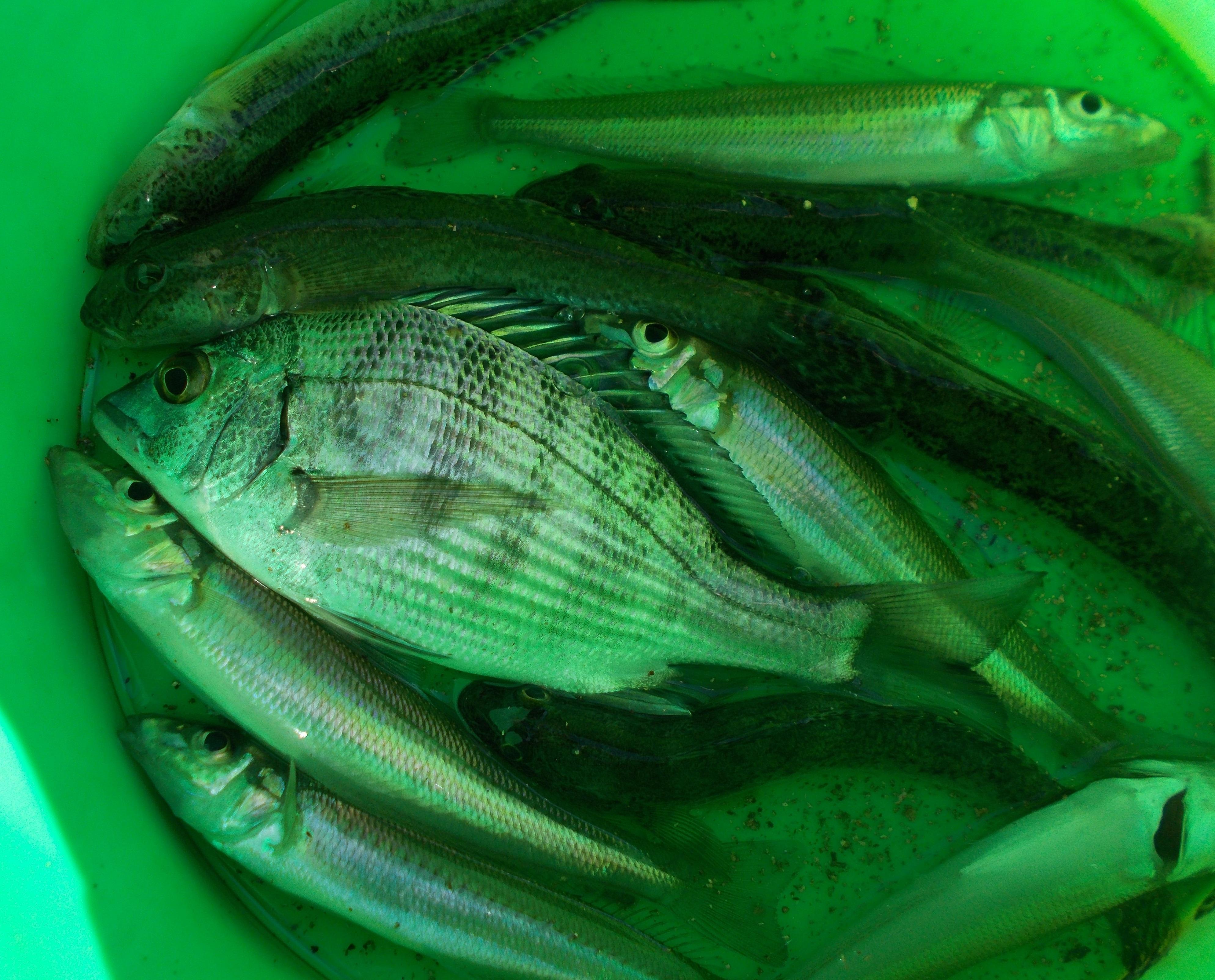 本日の釣果、キスとハゼが中心でチンタ(クロダイの小さいの)やメゴチ、小型カレイが釣れました。