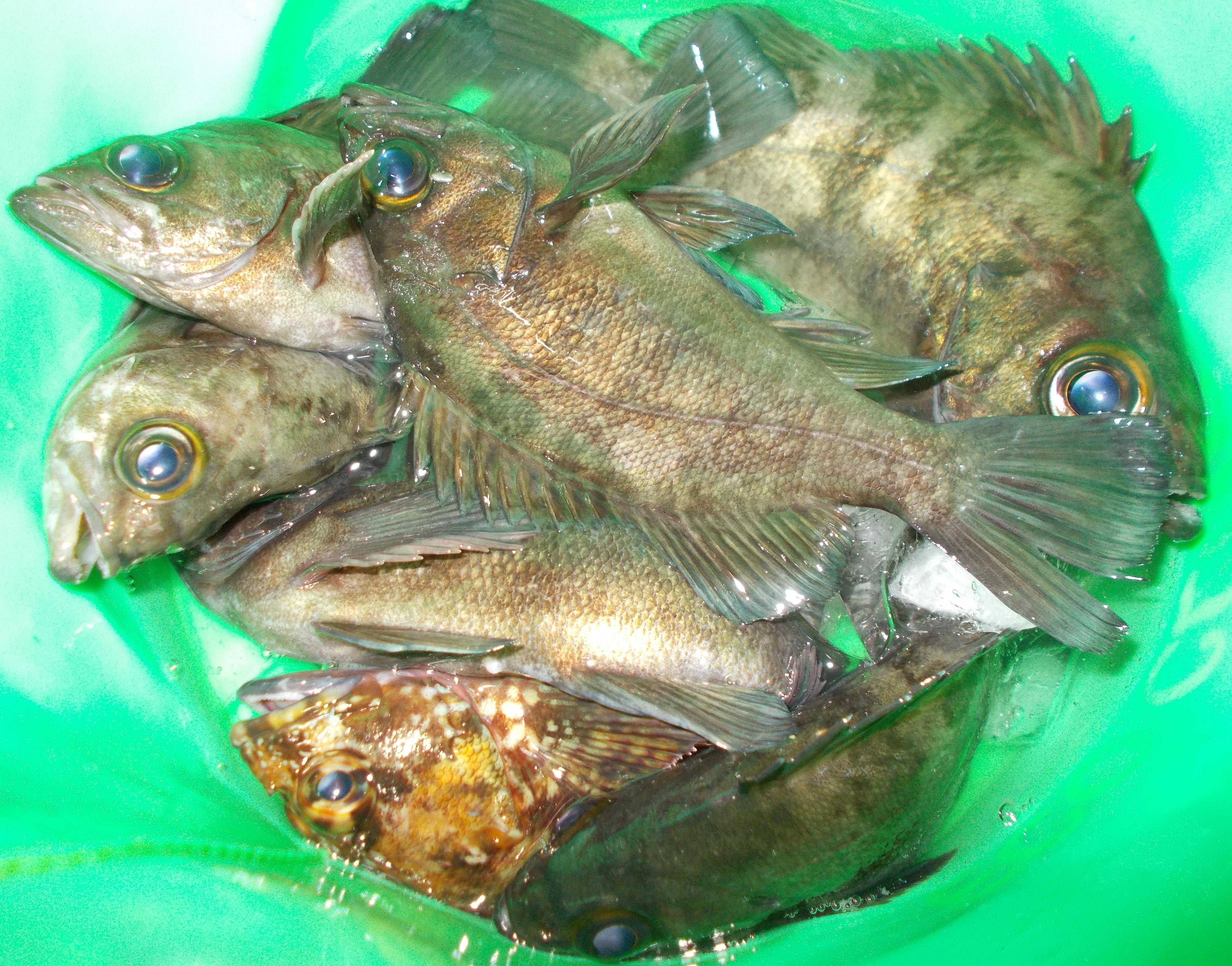 良型メバルだらけでした。産卵前のお腹が大きい魚は釣れても逃がしてあげて下さいね。