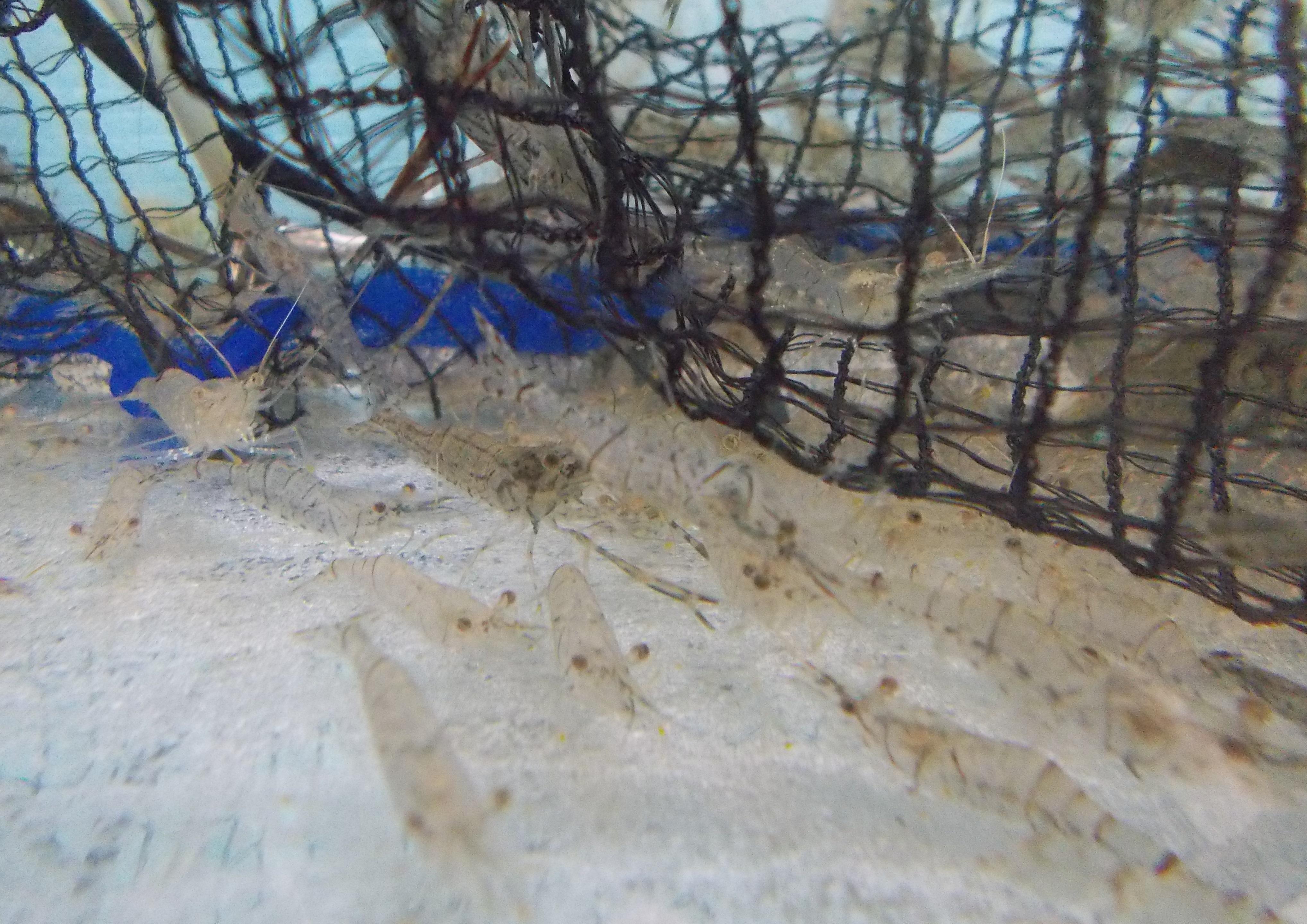 今回はエサ釣り、モエビのエサで尻尾にチョン掛けで釣りました。
