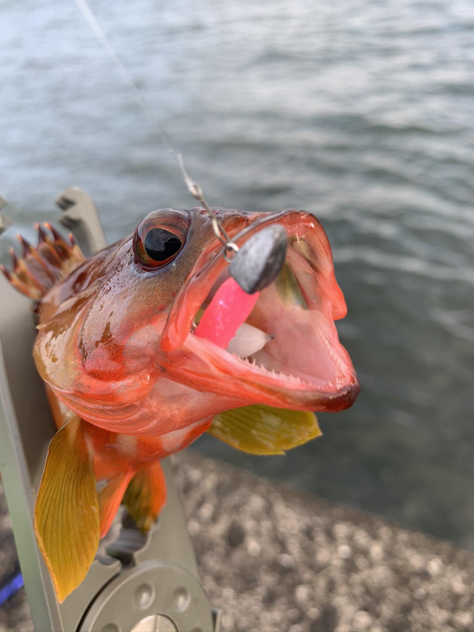 アカハタ初めて釣りました!