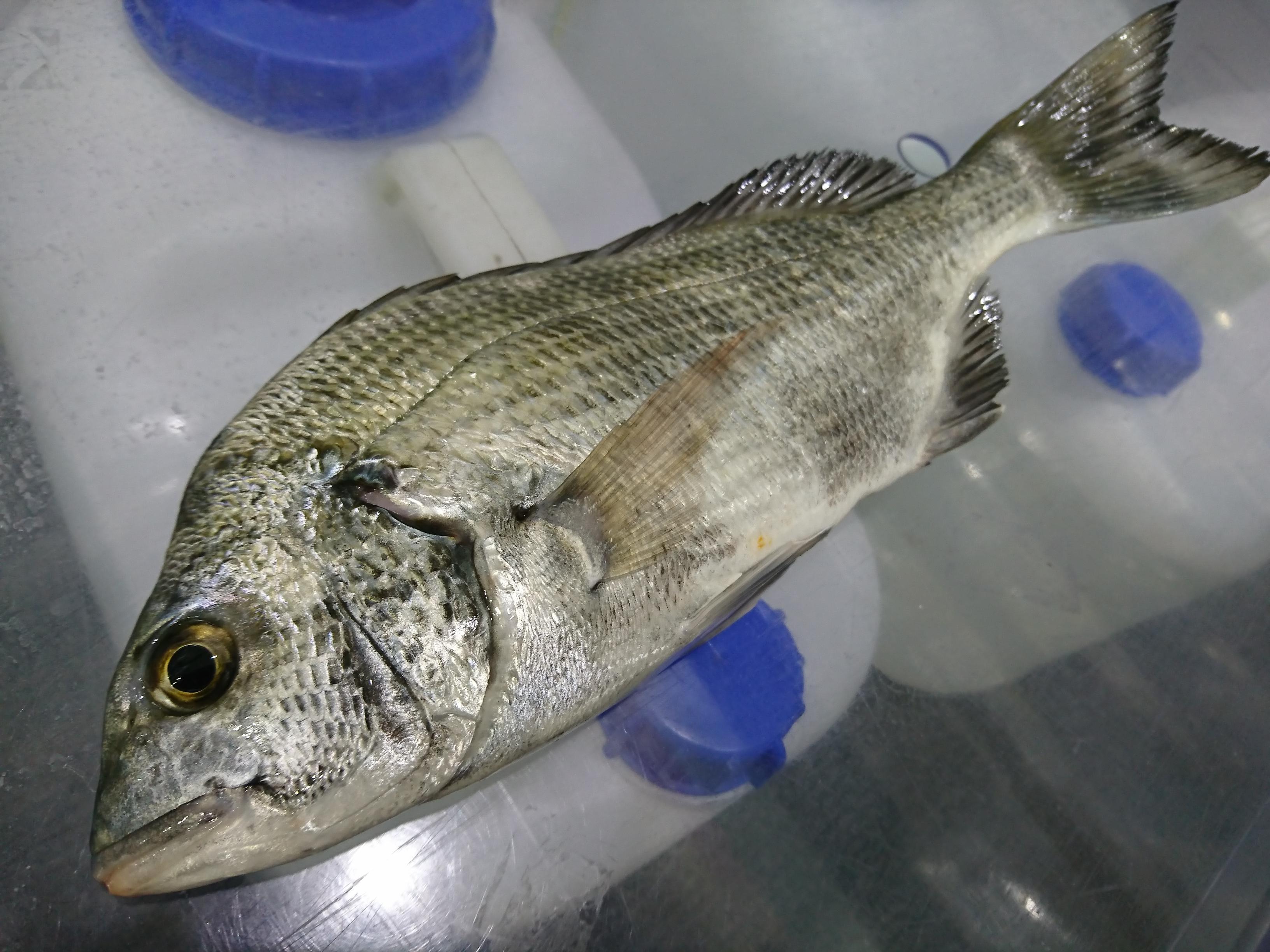 良型のクロダイが釣れました!沼津サーフのクロダイは絶品です!